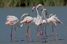 Greater Flamingo Phoenicopterus roseus in the Camargue