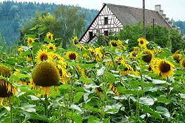 Sonnenblumen beim Hof Bibermühle