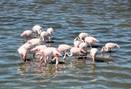... weitere Flamingos