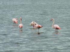 Étang du Médard, Flamingos