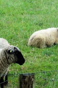 Schafe im Nieselregen