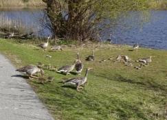Gæs med gæslinger i en park i Hillerød/Geese with goslings in a park in Hilleroed