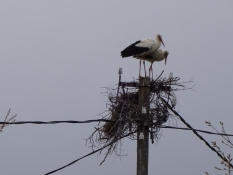 Storkene skal vist til at bygge en ny rede/These storks have to build a new nest