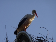 Der var ingen unger at se i reden/I didnʹt see any young storks in the nest