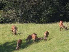 Krondyr i dyreparken oppe på Pfänder.