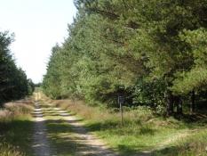 Unge træer i Stursbøl plantage