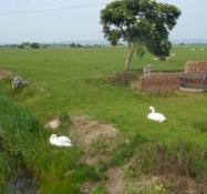 Stædige får og arrige svaner har plads nok/Stubborn sheep and furious swans with lots of space