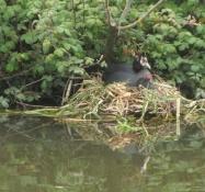 En rørhønerede med kyllinger ved kanalen/A moorhenʹs nest with chicken at the canal
