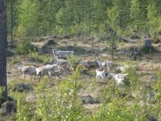 Rensdyrflok langs vejen/A herd of reindeer at the roadside