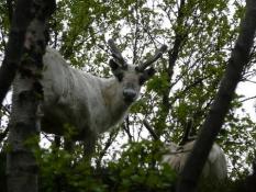 Nysgerrige rensdyr holder øje med mig/Curious reindeer are watching me