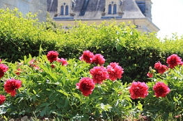 Pfingstrosen vor Château de Brézé
