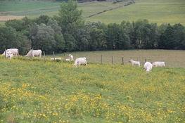 Charolais-Rinder auf der Blumenwiese