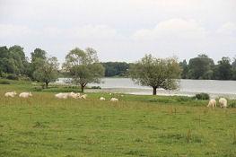 Rinderherde an der Saône bei Gergy