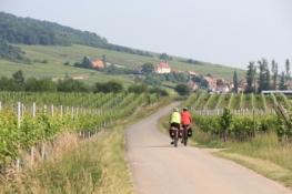 Weinberge an der Elsässischen Weinstraße bei Dieffenthal