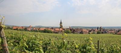Weinberge an der Elsässischen Weinstraße bei Dambach