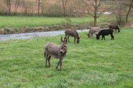 Eselgruppe in Emhof