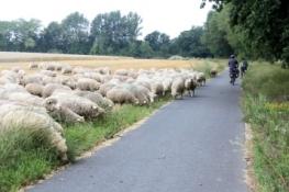 Schafherde am Radweg vor Riesa