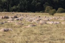 Schafherde in den Elbwiesen