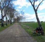 Her er det en birkeallé ved herregården Kirstinebjerg/A birch avenue near the manor Kirstinebjerg
