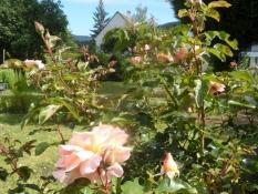 Roser i haven på Platter Str./Roses in the garden at Platter street