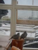 Gråspurve fløj ind og ud af dørene/Sparrows flew in and out of the doors
