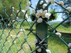 Snails on the fence
