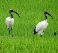 Ibises in the rice fields