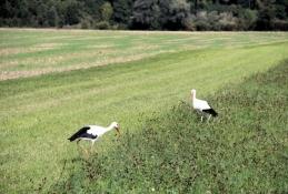 Storchenpaar in den Donauwiesen