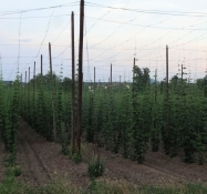 Growing hops in a beer loving country like the Czech Republic seems a good idea