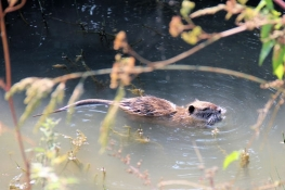 Muskrat in the drainage ditch