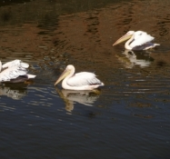 Pelikaner i Kopgalis-fæstningens voldgrav/Pelicans in the moat of the Kopgalis fortress