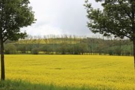 Rapsfeld im Hahletal