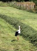 Storch bei Atterfeld