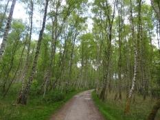 Der Wald Pinseskoven ist noch jung und enthält viele Birken