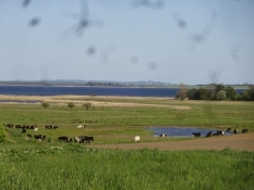 A very common view on today stage: Lush meadows with cows, a sound and an island behind
