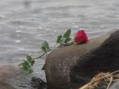 Eine Rose lag auf einem Stein und viele weitere schwammen im Wasser an der Landzunge von Boller