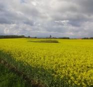 Ein blühendes Rapsfeld sieht gut aus in seiner gelben Farbe