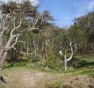 Hier steht sogar ein alter natürlicher Wald hinter den Dünen