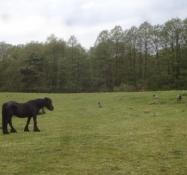 Pferde und Ziegen beweiden die saftigen Wiesen von Örnbjerg Mühle