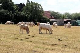 Rinder bei Wiltrop