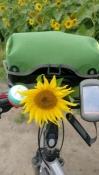 Sonnenblume am Fahrrad
