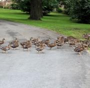Marsch der Enten in Schloss Varlar