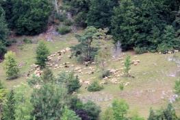 Schafe weiden am Jurahang