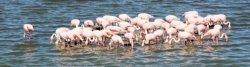 Camargue, Flamingos