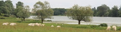 Rinderherde an der Saône