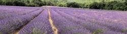 Lavendelfeld bei La Viguière