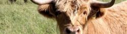 Highland Cattle bei Knüverdarp